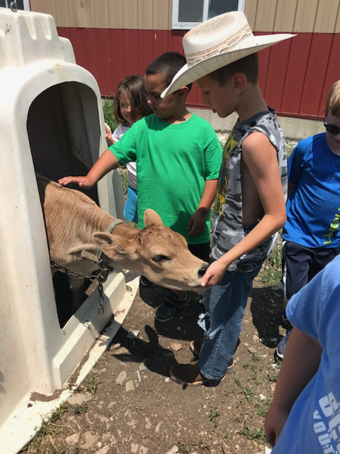 The students loved petting the calves.